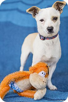 Jack Russell Terrier/Chihuahua Mix Puppy for adoption in Studio City, California - Jack