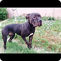 Adopt A Pet :: Zepplin. COURTESY POST - Phoenix, AZ