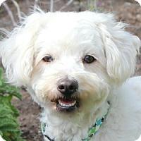 Adopt A Pet :: Kloe - La Costa, CA