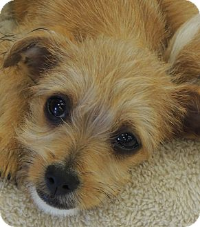 Kiki Adopted Puppy La Habra Heights Ca Jack Russell Terrier Yorkie Yorkshire Terrier Mix