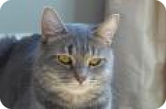 Domestic Shorthair Cat for adoption in Chicago, Illinois - Chloe