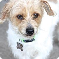 Adopt A Pet :: Bradshaw - MEET HIM - Norwalk, CT