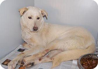 Shepherd (Unknown Type) Mix Dog for adoption in Brooklyn, New York - Belochka