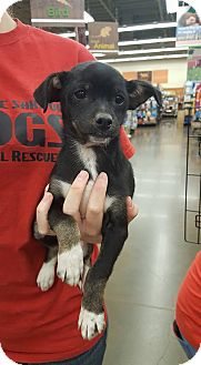 Terrier (Unknown Type, Small) Mix Puppy for adoption in Fresno, California - Jedi
