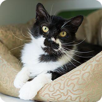 Domestic Longhair Cat for adoption in Houston, Texas - Kateri