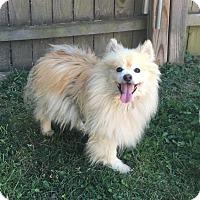 Pomeranian/Spitz (Unknown Type, Small) Mix Dog for adoption in Va Beach, Virginia - Teddy