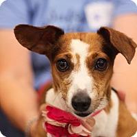 Adopt A Pet :: Kallie - Minneapolis, MN