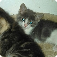 Adopt A Pet :: Legs - Scottsdale, AZ