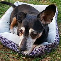 Dachshund/Chihuahua Mix Dog for adoption in Andalusia, Pennsylvania - Caoba