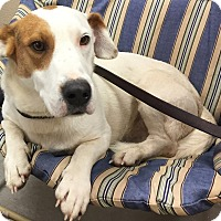 Basset Hound Mix Dog for adoption in Morehead, Kentucky - Shorty