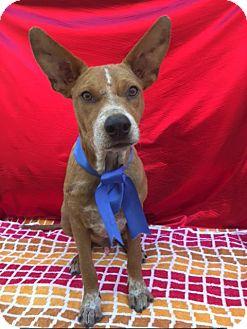 Shepherd (Unknown Type) Mix Puppy for adoption in Santa Monica, California - HONEY