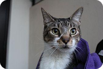 Domestic Shorthair Cat for adoption in Sarasota, Florida - Mojo