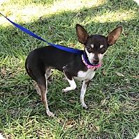 Adopt A Pet :: Cashmere - Palm Harbor, FL