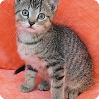 Adopt A Pet :: Tom - Elkhorn, WI