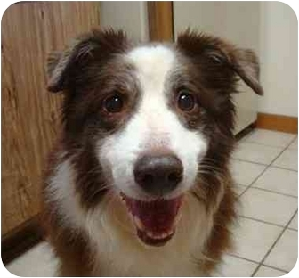Australian Shepherd Dog for adoption in Orlando, Florida - Emma