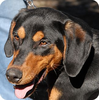 Doberman Pinscher Puppy for adoption in Sun Valley, California - Hanna