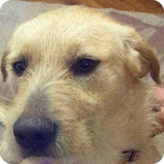 Airedale Terrier Golden Retriever Mix
