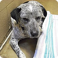 Adopt A Pet :: Drew - Wickenburg, AZ
