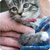 Adopt A Pet :: Celeste (Paprika) - Reston, VA