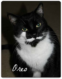 Domestic Shorthair Cat for adoption in McKinney, Texas - Oreo