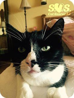 Hemingway/Polydactyl Cat for adoption in Tucson, Arizona - Lola