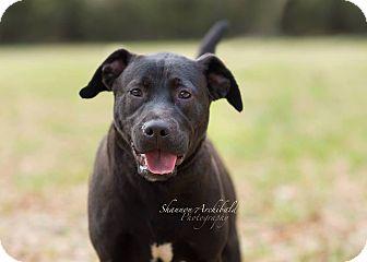 Labrador Retriever/American Bulldog Mix Dog for adoption in Macon, Georgia - Jackson