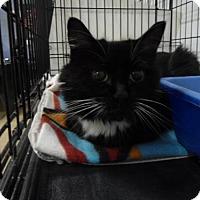 Adopt A Pet :: Cleo - Lancaster, PA