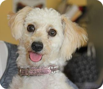 Poodle (Miniature) Puppy for adoption in San Diego, California - Alexander