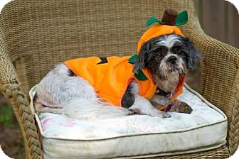 Shih Tzu Dog for adoption in Tallahassee, Florida - Hope - ADOPTED