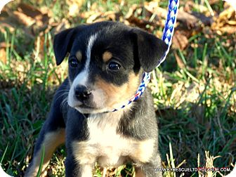 Australian Shepherd Mix Puppy for adoption in PRINCETON, Kentucky - RILEY/ADOPTED
