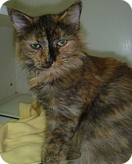 Domestic Longhair Cat for adoption in Hamburg, New York - Ellie