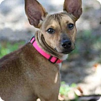 Jack Russell Terrier Mix Dog for adoption in Tallahassee, Florida - TINA