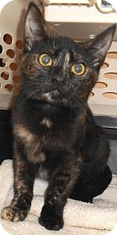 Domestic Shorthair Kitten for adoption in Chattanooga, Tennessee - Zombie