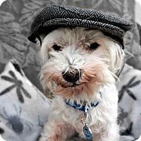 Adopt A Pet :: Mr. Peabody - Peoria, AZ