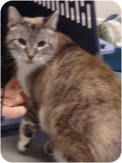 Siamese Cat for adoption in Wenatchee, Washington - Sable