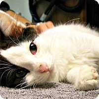 Adopt A Pet :: Bobbi-San (Japanese Bobtail) - Toledo, OH