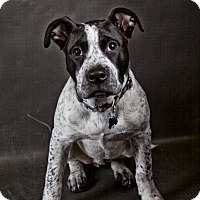 Adopt A Pet :: Clint Barkton, a.k.a. Hawkeye - West Allis, WI