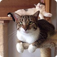Domestic Shorthair Cat for adoption in Manhattan, New York - Bonnie & Clyde