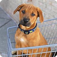 Adopt A Pet :: Gauge-Adopted! - Detroit, MI