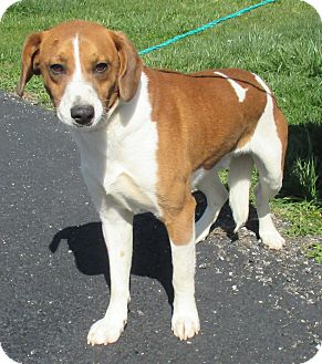 Hound (Unknown Type)/Beagle Mix Dog for adoption in Reeds Spring, Missouri - Roy