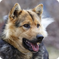 Husky Mix Dog for adoption in Ile-Perrot, Quebec - TUCKSTER
