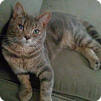 Domestic Shorthair Cat for adoption in Brooklyn, New York - Lex