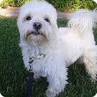 Adopt A Pet :: Rascal - Las Vegas, NV