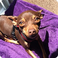 Miniature Pinscher/Chihuahua Mix Dog for adoption in Kirkland, Washington - Lavender - Pint-size Pup!