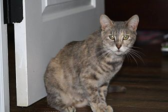 Domestic Shorthair Cat for adoption in Hayes, Virginia - Oshi