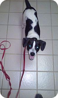 Rat Terrier Mix Dog for adoption in joliet, Illinois - JENNA