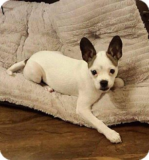 Boston Terrier/Chihuahua Mix Puppy for adoption in Cleveland, Oklahoma - Oscar ADOPTION PENDING