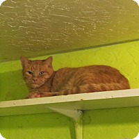 Domestic Shorthair Cat for adoption in Coos Bay, Oregon - Citrus