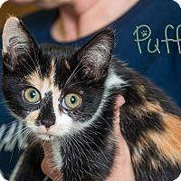 Adopt A Pet :: Puff - Somerset, PA