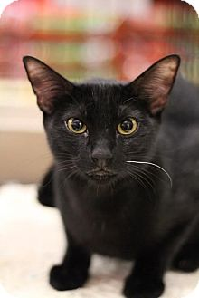 Domestic Shorthair Kitten for adoption in Sacramento, California - Sooty